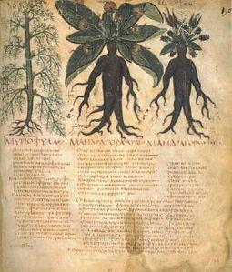 Mandragores mâle et femelle. Manuscrit de Dioscoride de Naples, début du VIIe siècle.
